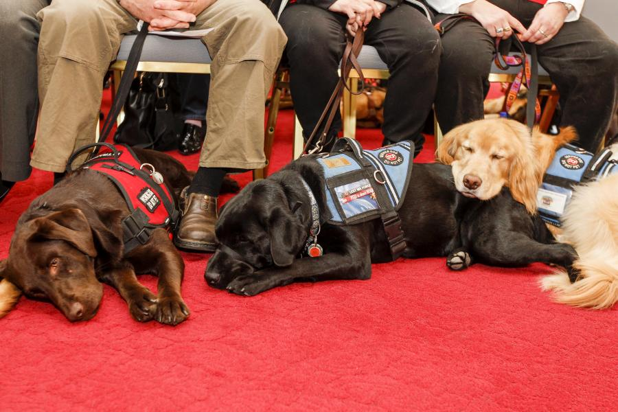 Three service dogs take a quick nap at their owners' feet.